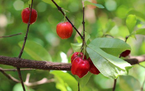 Acerola: roślina, którą warto znać