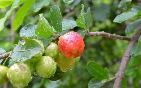 Wiśnia z Barbados idealna dla dbających o zdrowie